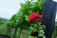 Poulton Hill Estate Vineyard feature. Pictured roses. 21/07/17 Thomas Kelsey